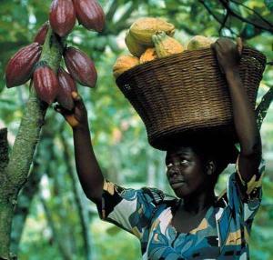 cocoa-farm