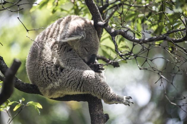 koala sleeping .jpg